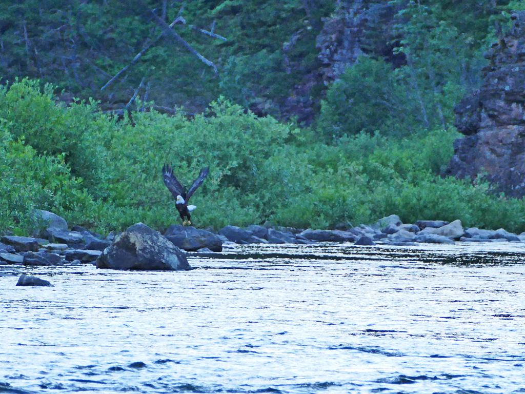 Photo of a bald eagle.