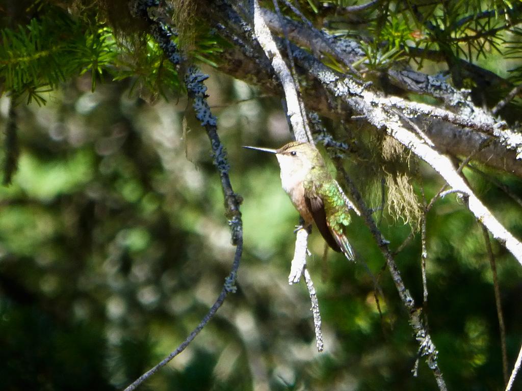 Photo of Hummingbird