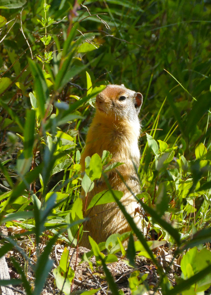 Photo of a ground squirrel.