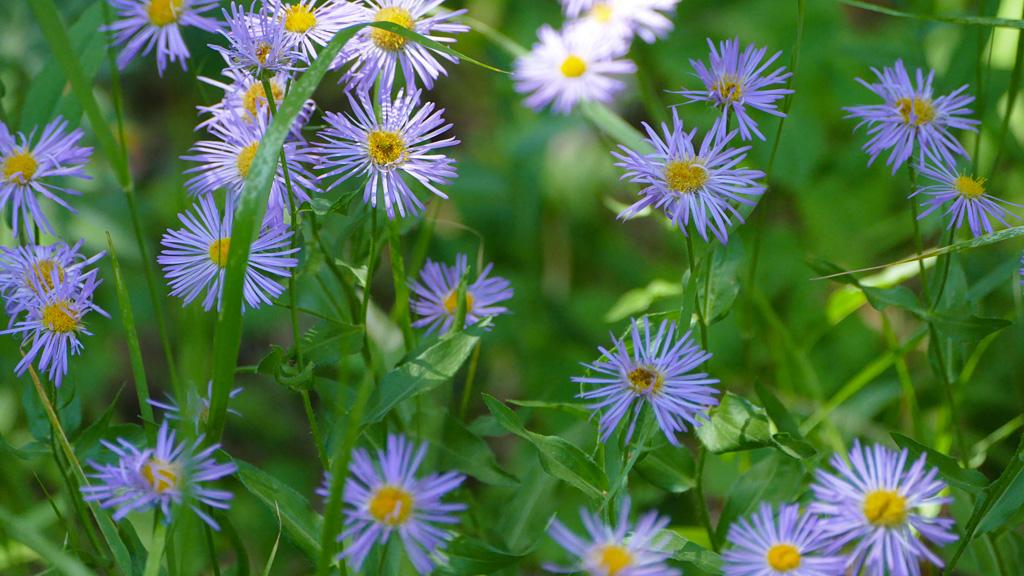 Photo of wild aspen daisies.