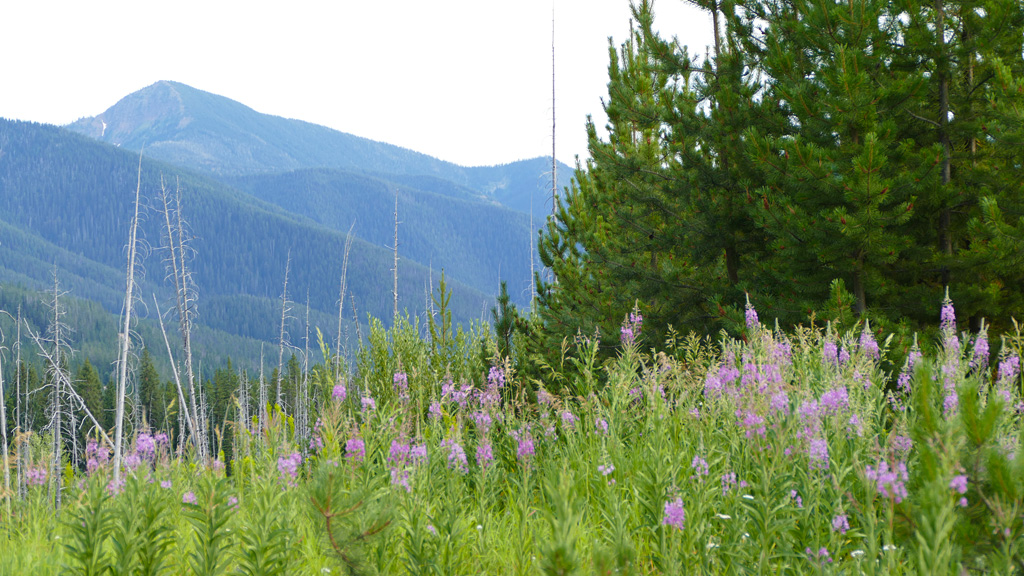 Photo of mountains and fireweed.